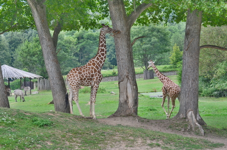 giraffe , ZOO Dvur Kralove, eastern Bohemia, Czech Republic