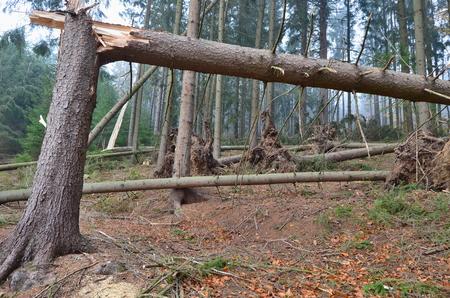 les poškozený větrem, jižní Čechy, Česká republika Reklamní fotografie - 89628128