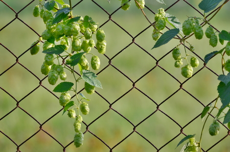 Hops is a plant family of hemp family, Czech Republic