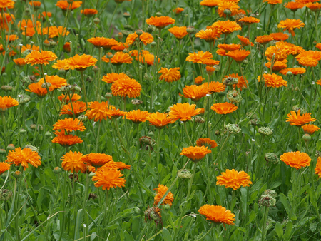 flower bed of a flower marigold, botanical garden of Hradec Kralove, Czech Republic