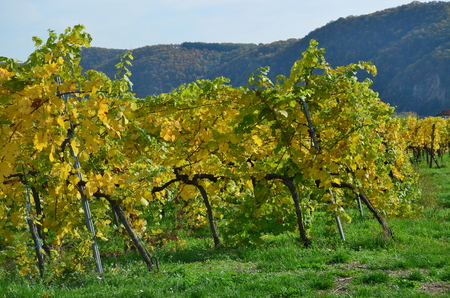 Autumn in the vineyard, Lower Austria, Austria