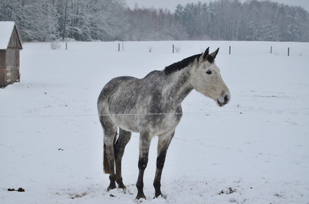 white horse on winter pasture. South Bohemia, Czech Republic Reklamní fotografie