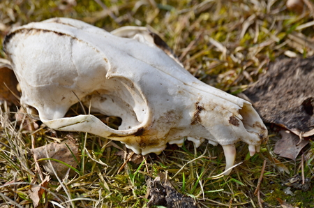 view of animal skull, dog skull, south bohemia, czech republic