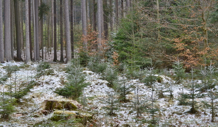 view of newly planted forest, South Bohemia, Czech Republic