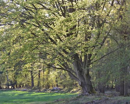 old tree, oak, southern Bohemia, Czech Republic Reklamní fotografie - 100670700