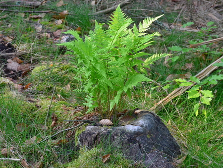 fern grows in tree stump, South Bohemia, Czech Republic