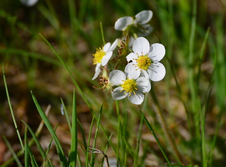 first spring flowers, forestry strawberries, South Bohemia, Czech Republic Stock Photo