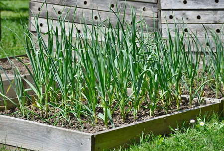 Spring garlic plant, South Bohemia, Czech Republic Stock Photo