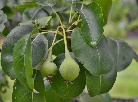 spring crop of pears. South Bohemia, Czech Republic