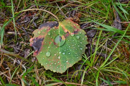 drops of water on a falling leaf of a tree, south Bohemia, Czech Republic Reklamní fotografie - 104233219