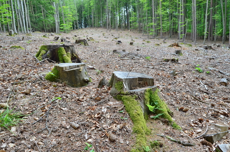 stump of an old tree felled, South Bohemia, Czech Republic