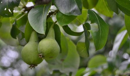 spring crop of pears. South Bohemia, Czech Republic Reklamní fotografie - 104233269