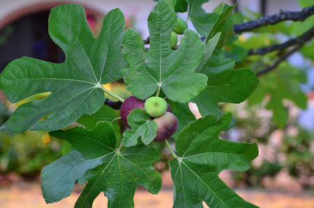 Ripening fruit of the fig tree, Eraclea Mare, Italy Reklamní fotografie