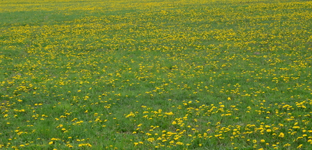 Spring blooming dandelion . South Bohemia, Czech Republic