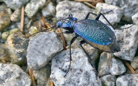 Carabus coriaceus is a predatory beetle, the largest representative of the family of beetles in the Czech Republic Reklamní fotografie - 124354519