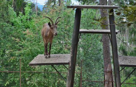 Siberian ibex (Capra sibirica) is a species of ibex living in central Asia, Olomouc Zoo, Czech Republic Reklamní fotografie - 130831997