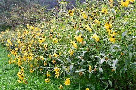 Janeba harsh, Heliopsis helianthoides, is an undemanding hardy perennial, South Bohemia, Czech Republic