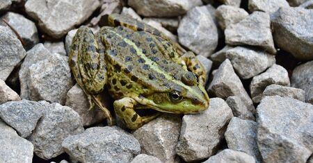 Edible Frog (Pelophylax esculentus, formerly Rana esculenta) is a hybrid of a short-legged marsh frog,  South Bohemia Reklamní fotografie