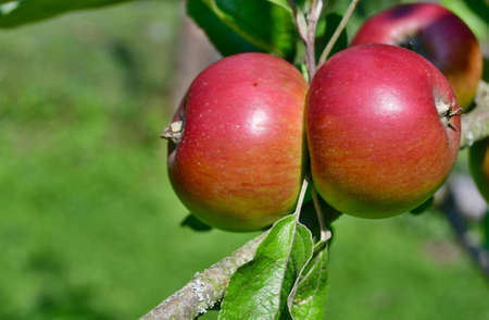 fruit ripening apple, southern Bohemia, Czech Republic