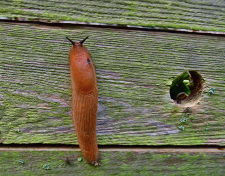 Spanish slug invasion in garden. Invasive slug. South Bohemia, Czech Republic