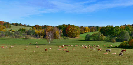 cows graze in the autumn landscape, southern Bohemia, Czech Republic