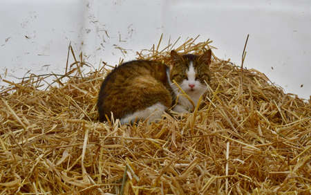 kitten resting on straw in a calf hut, South Bohemia, Czech Republic