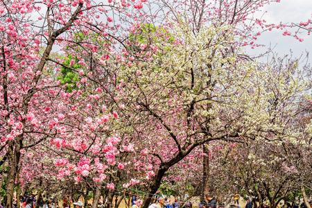 Yunnan Kunming Tongshan Park Zoo Sakura