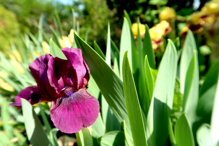 Purple and yellow iris flowers with blurred blooming garden in the background. Фото со стока