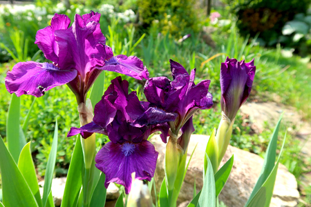 Purple iris flowers with blurred garden in the background. Фото со стока