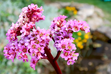 Close-up of blooming bergenia flower with blurred garden pond in the background. Springtime in the garden.