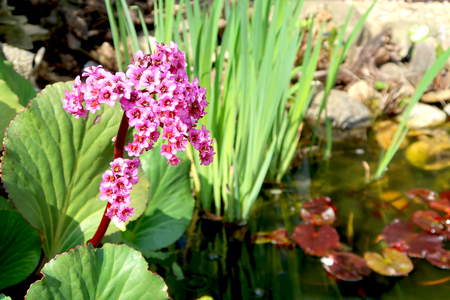 Blooming bergenia flower with blurred garden pond in the background. Springtime in the garden. Фото со стока - 122030755