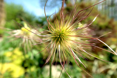 Past blossom of pulsatilla flower. Close-up of with blurred background. Springtime in the garden. Фото со стока - 122030760