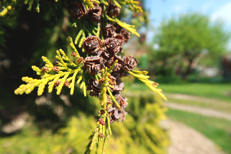 Close-up of white cedar (thuja occidentalis) branch with small cones in the sunlight. With blurred background.