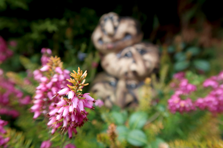 Close-up of the blooming Heather (Erica) flower in the rock garden with three ceramic heads in the background. Springtime in the garden.