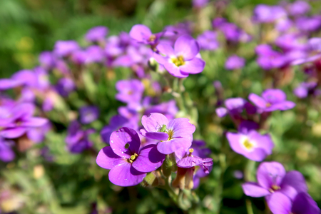 Close-up of the violet flower in rock garden with blurred background. Springtime in the garden.