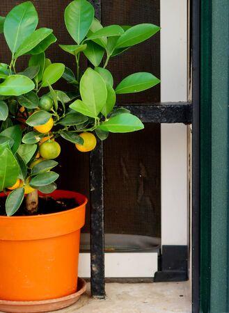 Lime tree in the window in Locorotondo town in Italy, Apulia region, Adriatic Sea Stockfoto