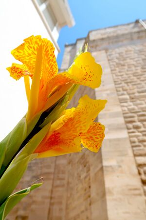 Closeup of yellow canna lily blooming in the street of Locorotondo, Italy, Apulia region, Adriatic Sea Banque d'images