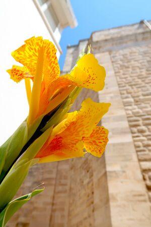 Closeup of yellow canna lily blooming in the street of Locorotondo, Italy, Apulia region, Adriatic Sea Stockfoto