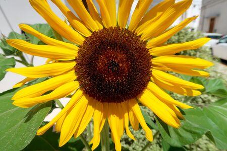 Closeup of blooming sunflower in the street of Locorotondo, Italy, Apulia region, Adriatic Sea