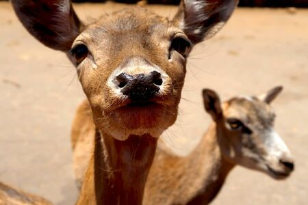 Closeup of fallow deer fawn in ZOO safari Fasano in Italy, region of Apulia, Adriatic See Banque d'images