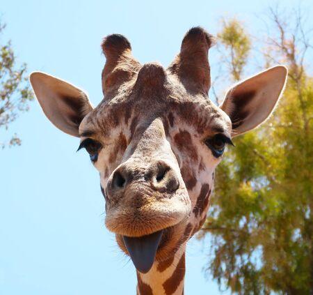 Funny giraffe sticking black tongue, looking at the camera - picture from Fasano ZOO safari in Italy, Apulia region, Adriatic Sea