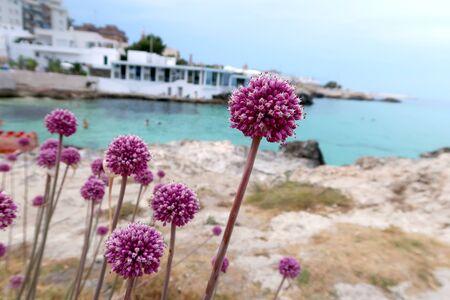 Beautiful blooming purple wild garlic flower on the Monopoli beach, Italy, Apulia region, Adriatic Sea
