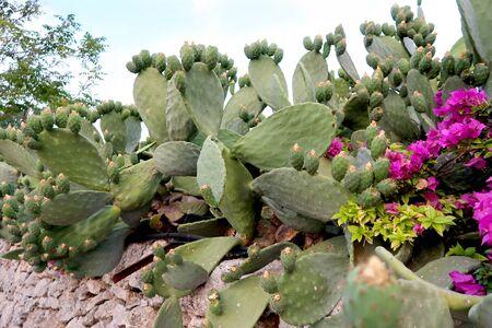Blooming opuntia cacti flower, opuncia called prickly pear on the rock garden in Italy, Monopoli town, Apulia region, Adriatic Sea