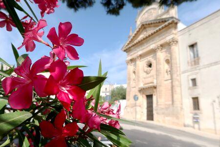 Blooming oleander tree flower with the Church of Carmine (Chiesa della Madonna del Carmine) in the background, Ostuni town, Apulia region, Italy, Adriatic Sea