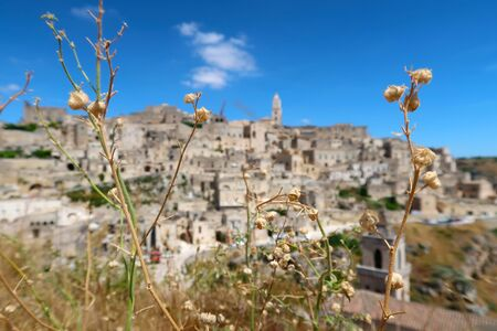 Dry flowers in the middle of the summer with ancient town of Matera (Sassi di Matera) and its typical medieval cave dwellings in the background, Basilicata, southern Italy Фото со стока