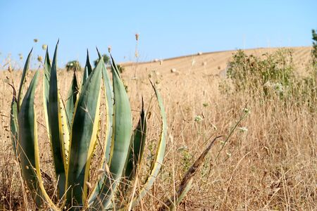 Agave plant on the dry summer field, typical countryside near the ancient town of Matera (Sassi di Matera), Basilicata, southern Italy