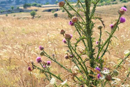 Wild pink thorny thistle at the dry field near the ancient town of Matera (Sassi di Matera), Basilicata, southern Italy, with its typical medieval cave dwellings visible in the background