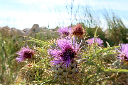 Wild pink thorny thistles at the field near the ancient town of Matera (Sassi di Matera), Basilicata, southern Italy