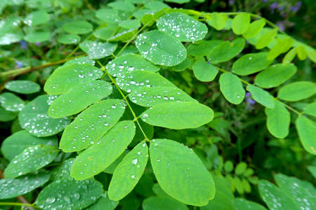 Young green leaves of acacia tree after rainy day with drops of water on the leaves