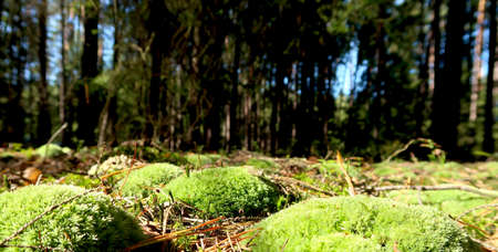 Closeup of the ground green soft moss in the sunny autumn forest. Blurred trees in the background.